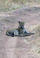 Leopard Waiting for Baby Wildebeest
