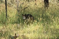 wild wallaby