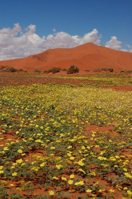 Flowers in Sossusvlei