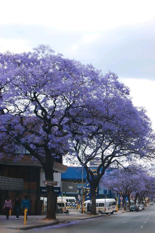 Jacarandas in Pretoria
