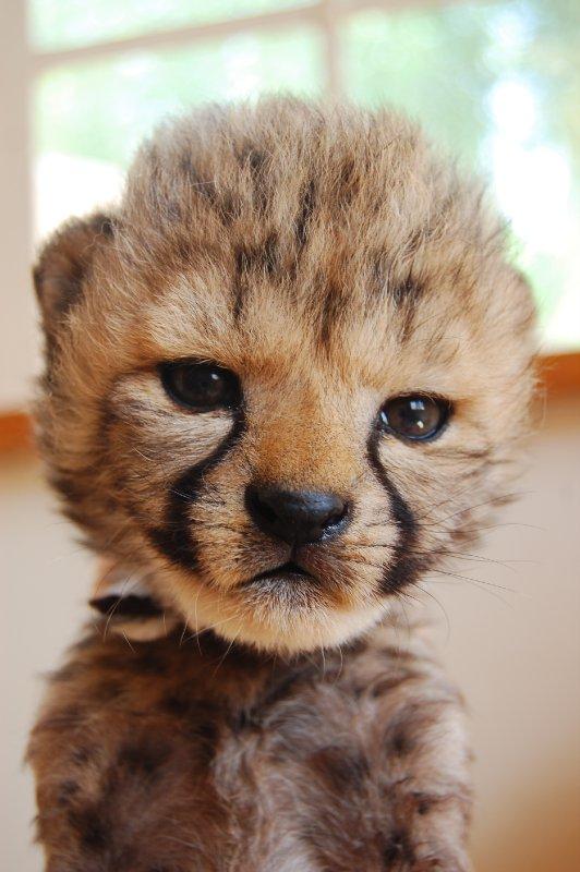 Baby Cheetah 4