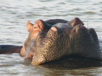 Close-up of a hippo in Kruger National Park