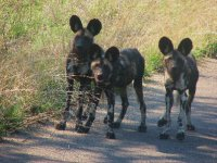 A rare pack of wild dogs in Kruger National Park