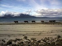 Cows on the beach at Largs Bay, Isle of Eigg