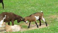 Baby goats play fighting, Boerderij De HoutKamp, Leiderdorp
