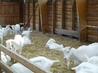 Goats are the main stock unit at Boerderij 't Geertje, Zoeterwoude, Netherlands. The farm produces goats milk, goats cheese and other goat by-products.