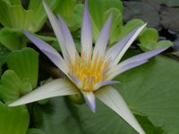 Water lily, Hortus Botanicus, Leiden