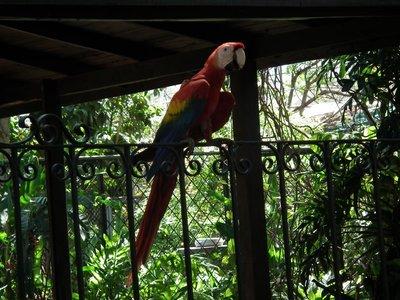 Scarlet_macaw.jpg