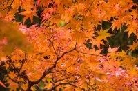 Kamakura_tree_DSC9289