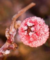derbyshire_frozen_berry_12-