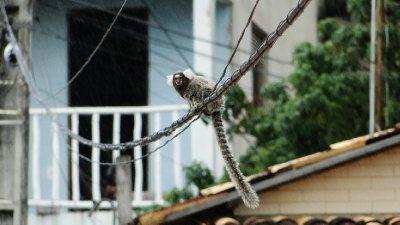Mico in Pipa