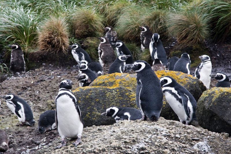 Penguins Chiloe Island