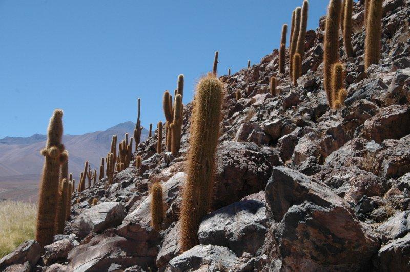 Cactus vallei