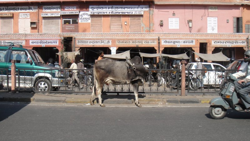 large_Cow_wander..__India.jpg