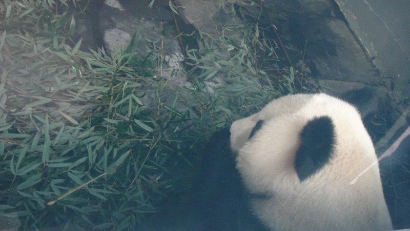 large_Panda_eati..__China.jpg