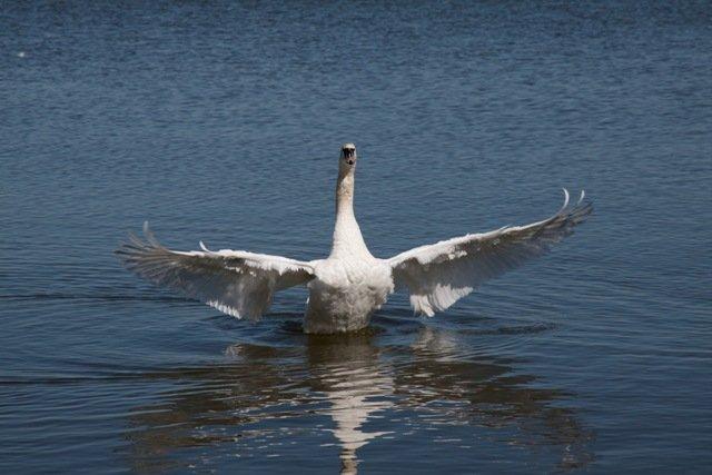 Swans in Nida