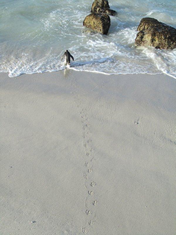 African Penguin near Simon's Town, Cape Town