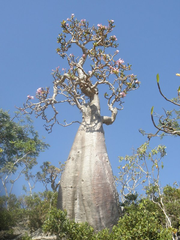 tree in Socotra
