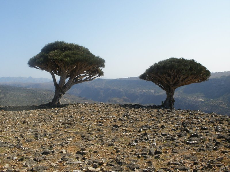 Dragons Blood trees