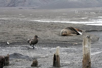 IMG_7753_skua_and_seal.jpg