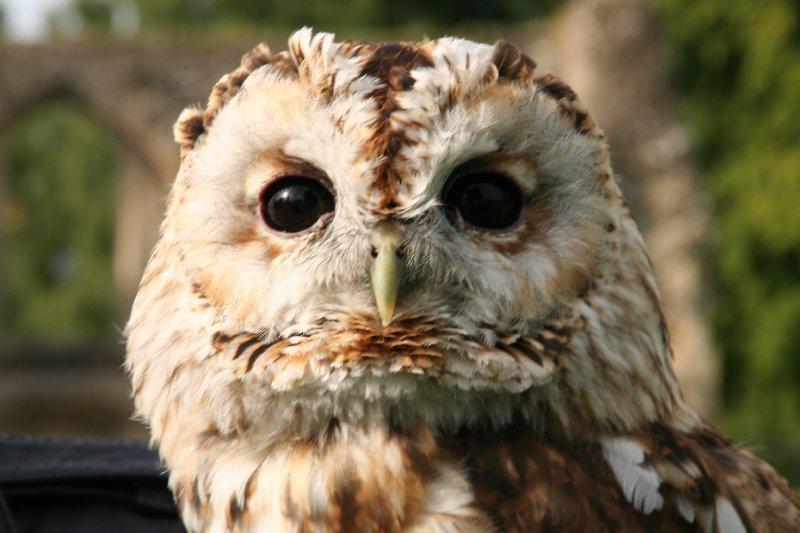 Owl @ Glasonbury Abbey
