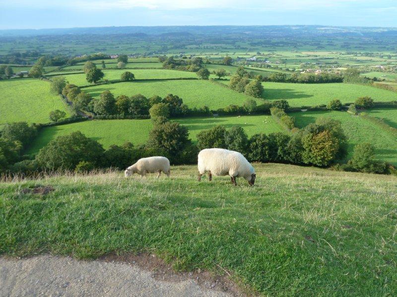 Glastonbury sheep