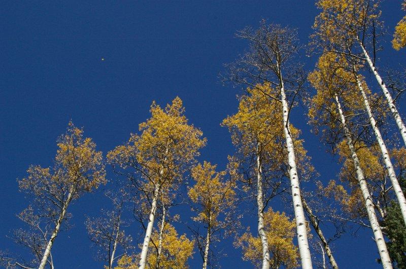 Taos Aspen