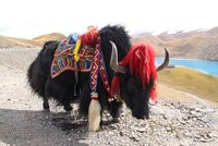 a decorated yak