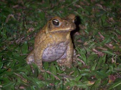 Frog at Club Fiji