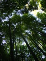 Bamboo_forest_02.jpg