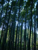 Bamboo_forest_03.jpg