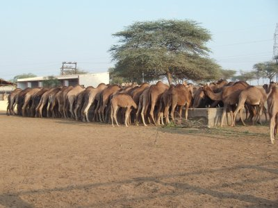 Camel feeding time