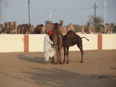 Camel milking