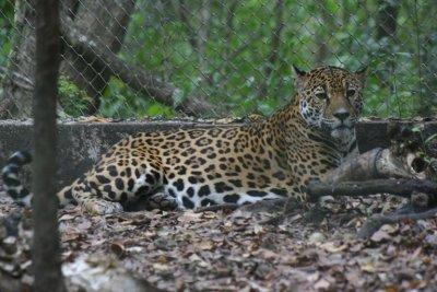 ARCAS_Jaguar.jpg