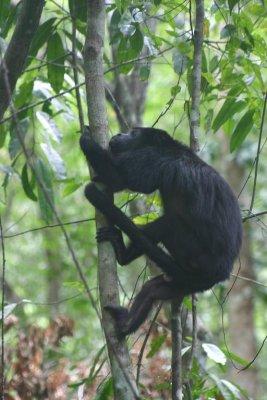 Tikal_Howler_monkey.jpg
