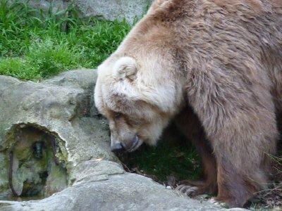 Kodiak Bear with big claws Taronga