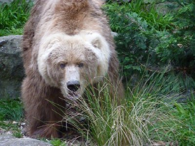 Kodiak Bear looking cuddly Taronga