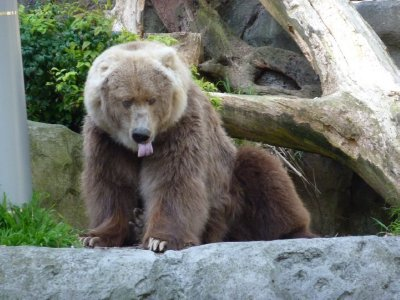 Kodiak Bear Taronga