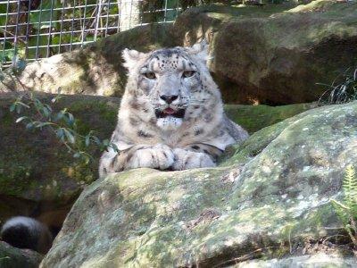 Snow leopard I think Taronga