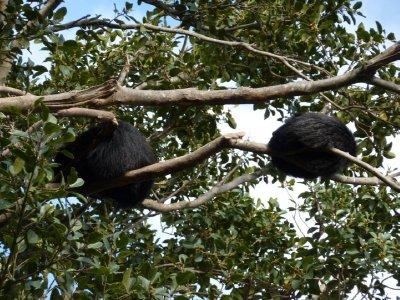 Forest fur balls Taronga