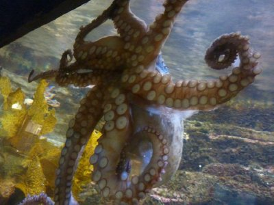 Octopus Manly