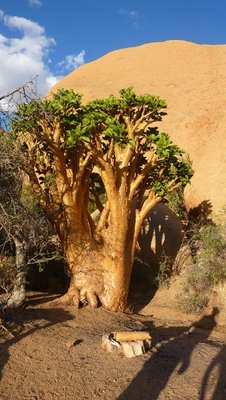 Odd looking tree at Spitzkoppe, Namibia
