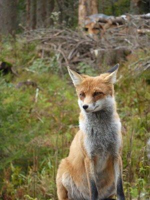 90_Smokovec_fox.jpg
