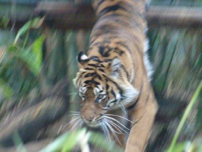 Tiger jumping Taronga