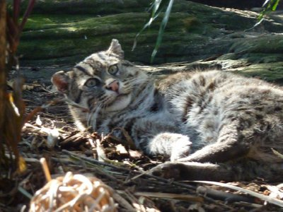 Fishing cat with missing front left legTaronga