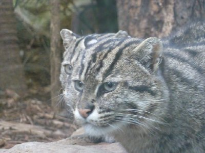 Two headed fishing cat Taronga