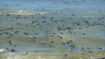Swimming seals at Cape Cross, Skeleton Coast,  Namibia