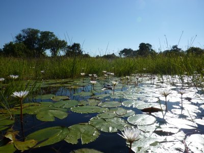 Lillies at the Okavango Delta, Botswana
