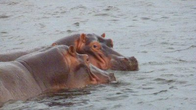 Hippo in the Zambezi