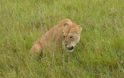 Grumpy lion in the Serengeti